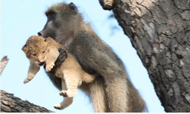 Baboon steals lion cub, grooms it