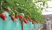 Coco-coir, not soil for  strawberry farming