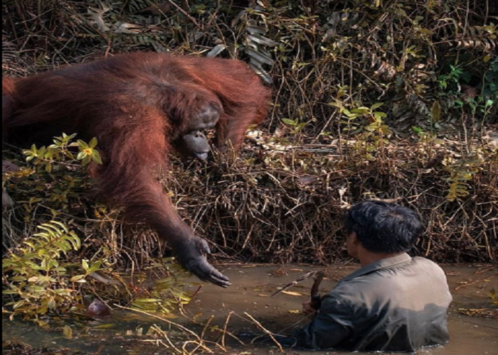 Orangutan extends a helping hand to man in river