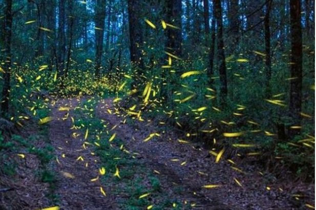 Fireflies face extinction risk, tourists are partly to blame