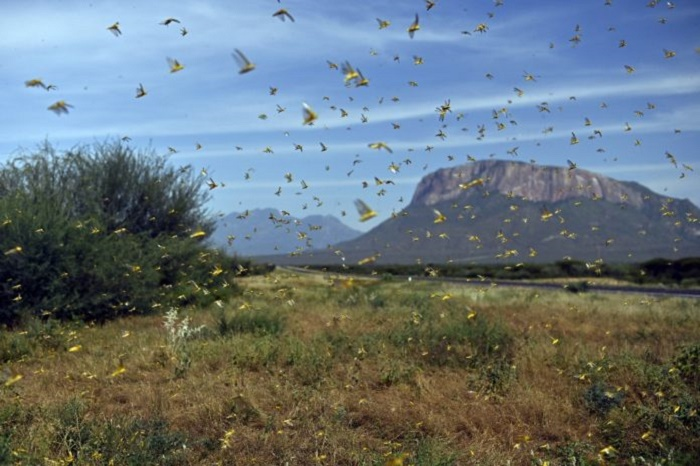 UN calls for donations to tackle desert locusts in Africa