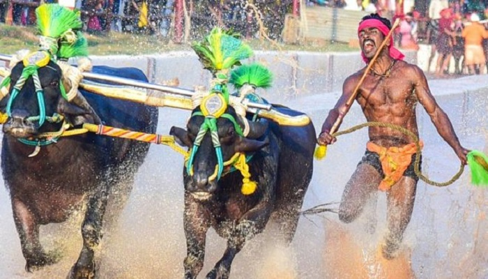 Indian buffalo racer is compared to Usain Bolt