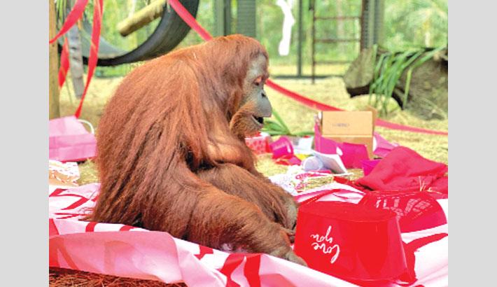 Orangutan granted  'personhood' turns 34