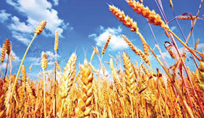Wheat farming losing charm as farmers switch to other crops