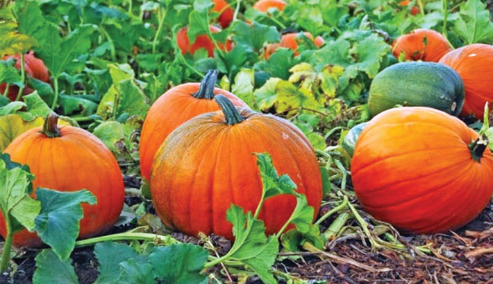 Pumpkin farming brings smile to farmers