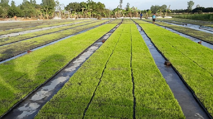 New cultivation method promises low cost, high yield for paddy farmers