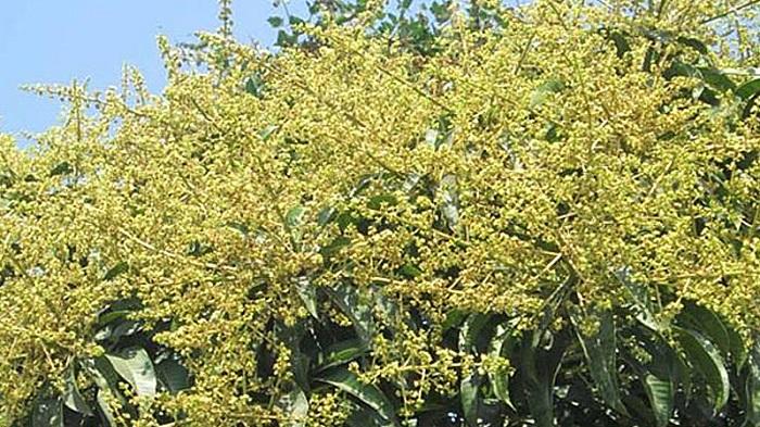 Mango trees start to blossom, predicting huge output in Rajshahi
