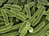 Specific gut bacteria may be linked to high BP