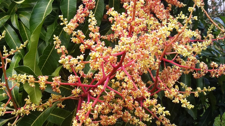 Excellent blooming makes mango farmers happy in Rangpur