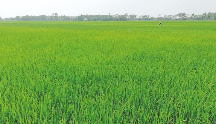 Boro paddy farming progressing fast in Gaibandha