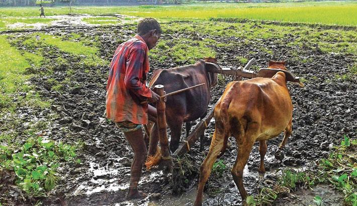 Farmer prepares seedbed by using bull-drawn plough