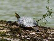 Rare 'Batagur Baska' lays eggs in Sundarban's Karamjal