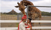 Giraffe tries to steal groom's turban during wedding photoshoot