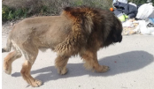 Locals panic after spotting lion on streets