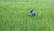 Bumper boro paddy output expected in Bogura