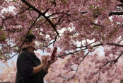 Tokyo closes cherry blossom parks to slow spread of virus