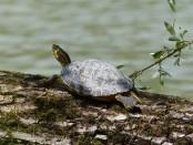 Rare Tortoise lays 21 eggs in Sundarban's Karamjal