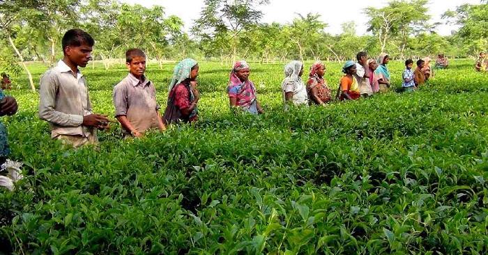 Sylhet tea workers go on work abstention amid coronavirus fear