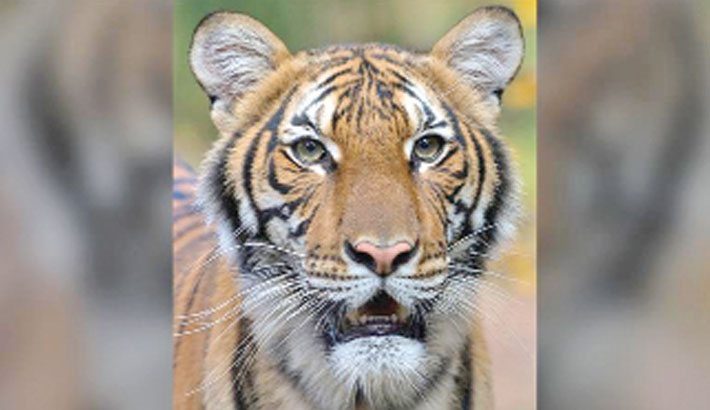 Tiger at US zoo tests positive for Covid-19