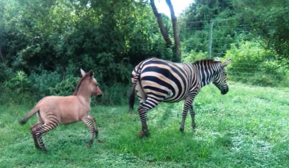 Zebra mates with donkey, gives birth to 'highly unusual' Zonkey