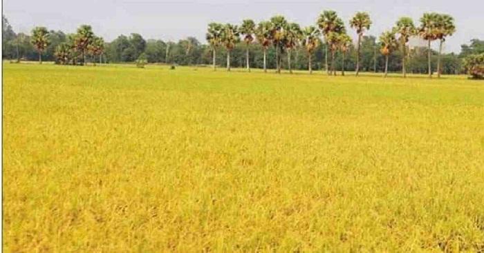 Coronavirus: Boro harvest suffers for labour shortage in Sunamganj