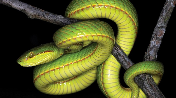 Scientists discover a new snake, name it after Salazar Slytherin