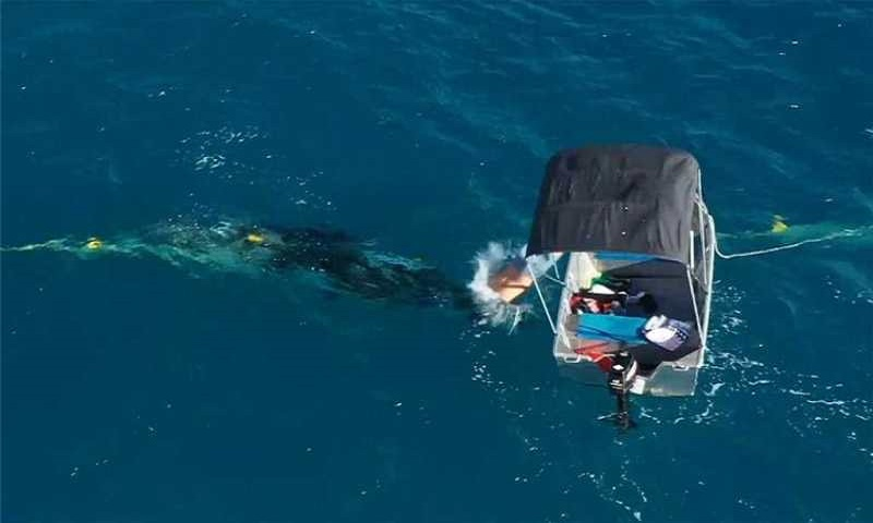 Australian man fined for rescuing whale from sea nets