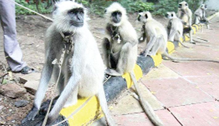 Monkeys develop virus immunity after infection, vaccine