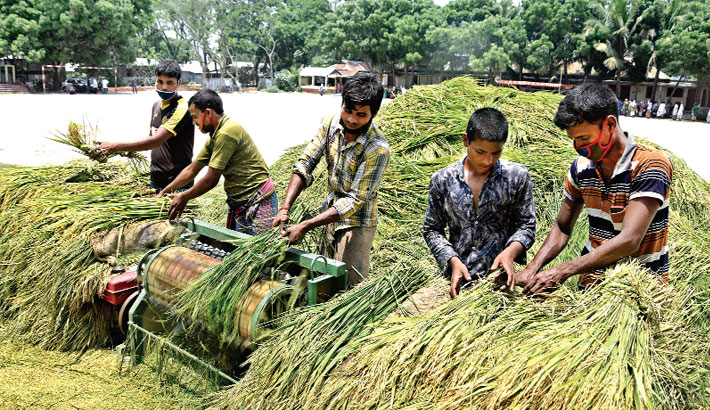Farmers are busy threshing Boro paddy