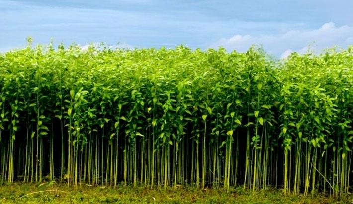 Jute cultivation target exceeds in Jamalpur