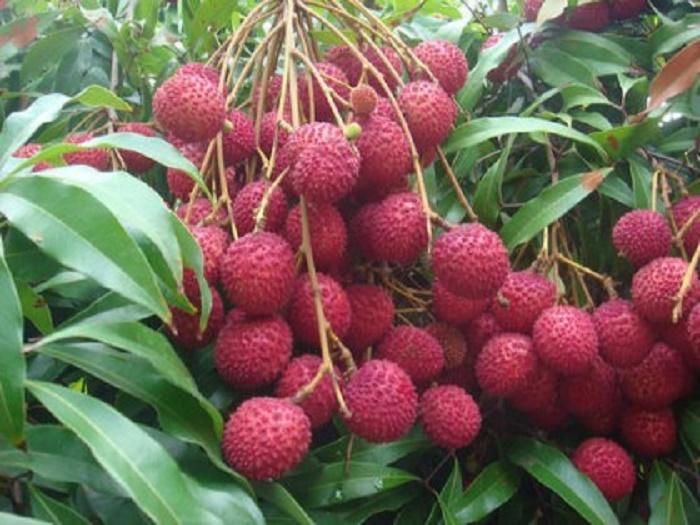 Litchi trading goes on amid COVID-19 in Rajshahi