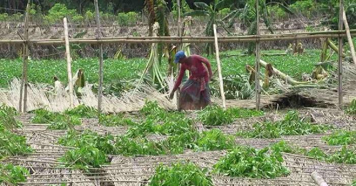Cyclone Amphan: Jhenaidah farmers suffer losses worth Tk 88.89 crore