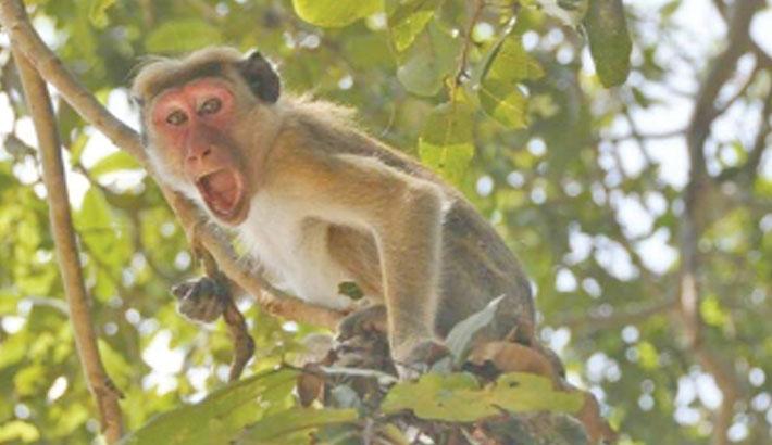 Indian monkeys snatch coronavirus samples