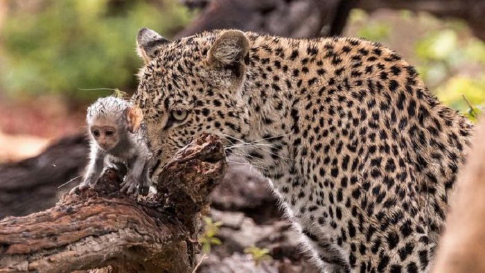 Leopard uses captured baby monkey as bait
