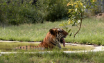India sends man-eater tiger to lifetime in jail