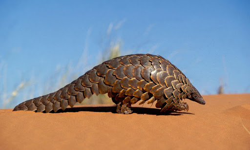 China removes pangolin scales from traditional medicine list