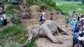 Endangered wild elephant electrocuted in Teknaf