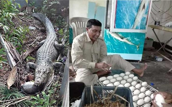 Crocodile lays 44 eggs at Karamjal Wildlife Breeding Centre