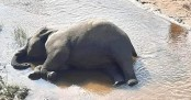 Wild elephant found dead in Bandarban