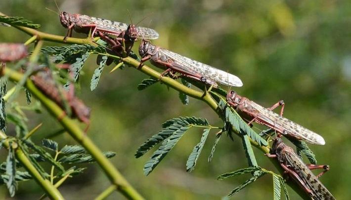 Locust Panic No More in Bangladesh