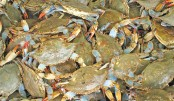 Crab farmers battling to survive amid Covid-19