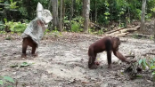 One Orangutan pranks another in the funniest video