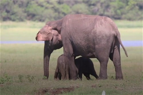 Elephant gives birth to twin calves in Sri Lanka
