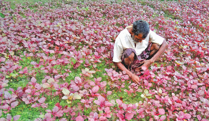 A farmer is harvesting red spinach