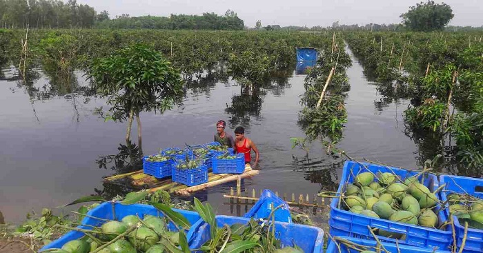Thakurgaon mango growers feeling the heat as rains play havoc