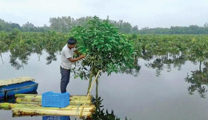 Waterlogging in mango orchards worries growers