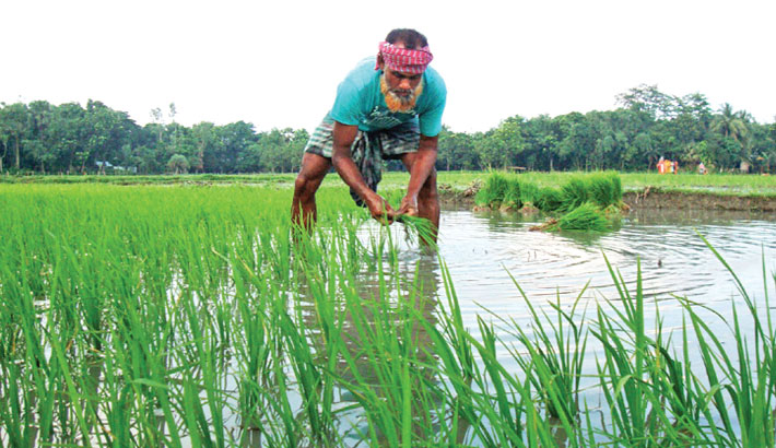 A farmer is transplanting Boro seedlings at a field