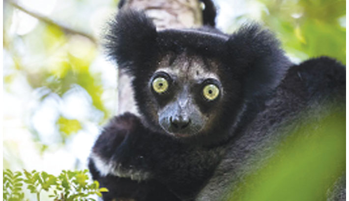 Nearly all lemur species 'face extinction'