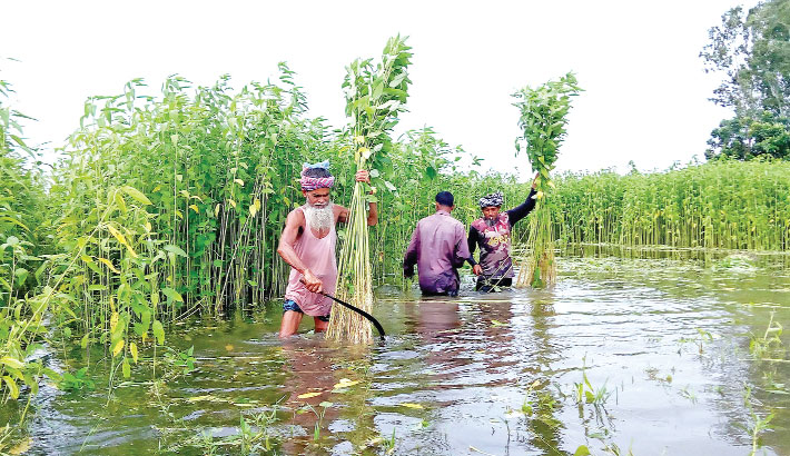 Farmers are busy harvesting jute plants