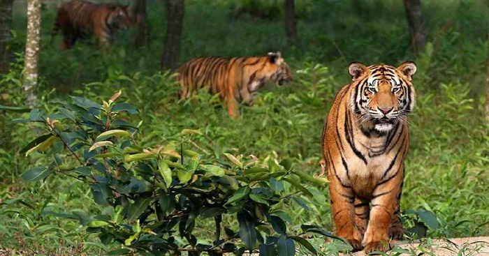 Tiger population at risk in Sundarbans: 38 tigers died in 20 years in Bangladesh
